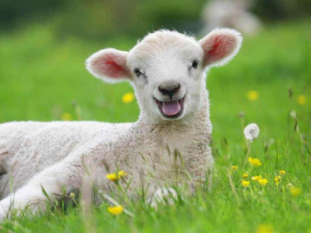 Photograph of a white lamb lying on its side in grass and a few dandelions.